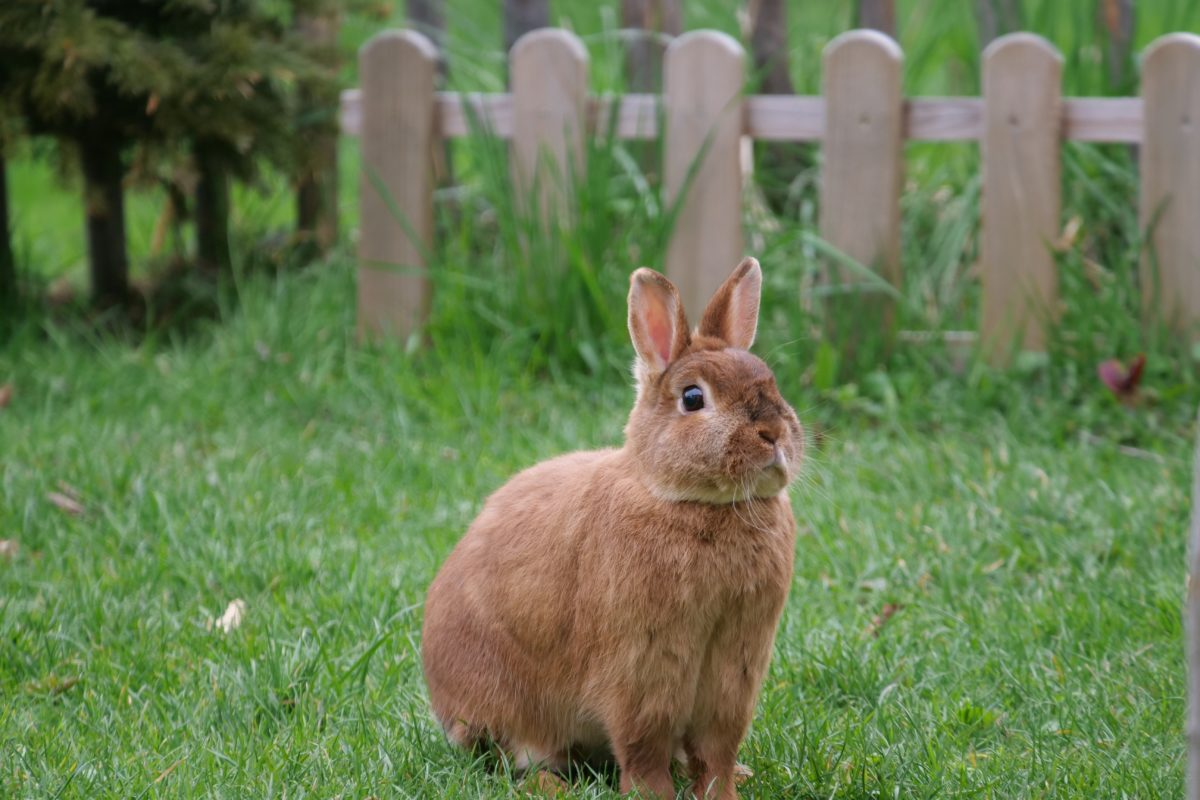 A brown rabbit on the grass
