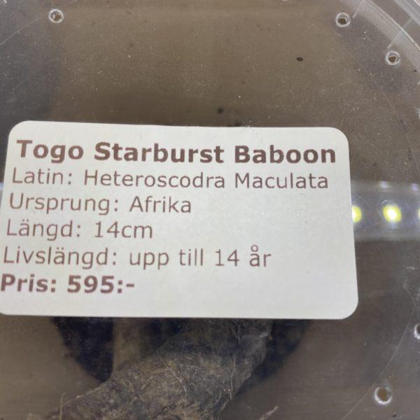 Togo Starburst Baboon