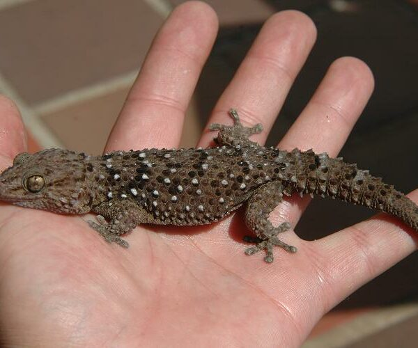 Bibroni Gecko