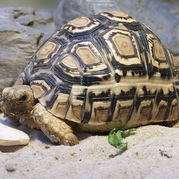 Leopard Sköldpadda