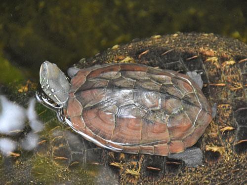 Trekölsköldpadda